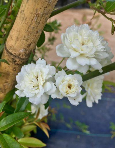 Producto Jardín Suizo 5